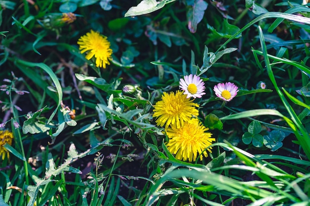 Green field of yellow dandelions and pink bellis or daisy flowers