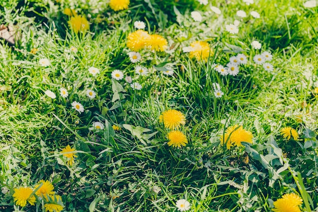 Green field of yellow dandelions and white bellis or daisy flowers in sunlight.