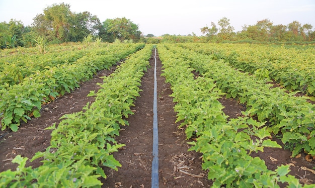 Green fields of eggplant