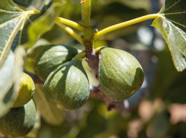 イチジクの木の枝で熟している緑のイチジクの果実は晴れた日にクローズアップ