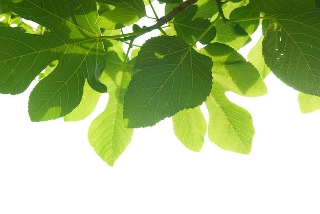 Зеленые листья фигового дерева с ветвью, изолированные на белом фоне.