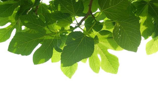 Зеленые листья фигового дерева с ветвью изолированные