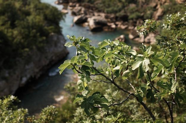 川を背景に枝に緑のイチジク