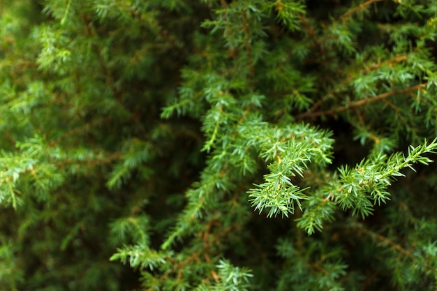 Green fir tree branch background close up