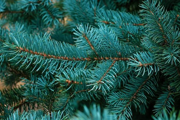 Green fir tree branch. fir coniferous background. christmas mockup.