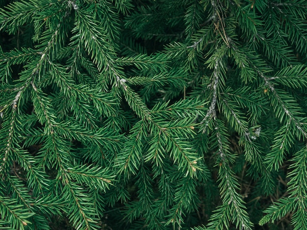 Green fir tree texture / leaf texture background / copy space