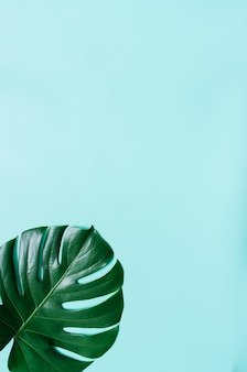 시안 색 파란색 배경에 녹색 평면 누워 열 대 몬스 테라 잎. 텍스트, 복사, 글자를위한 공간.