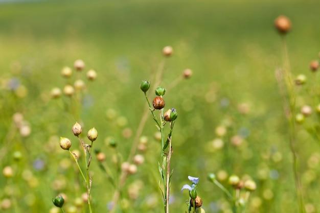 Зеленый лен, готовый к уборке, сельскохозяйственное поле, где растет лен, который используется для производства льняных тканей.