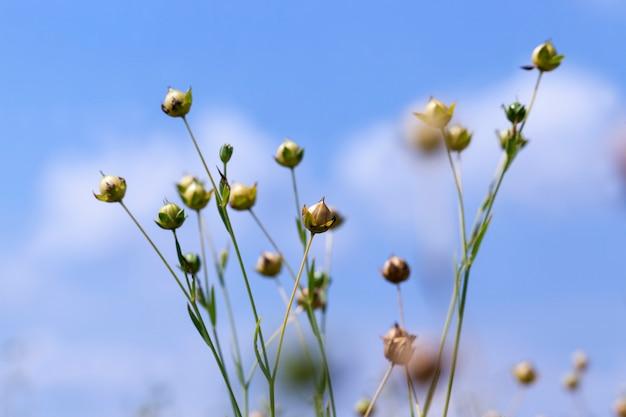 Зеленый лен, готовый к уборке, сельскохозяйственное поле, где выращивают лен для производства льняных тканей.