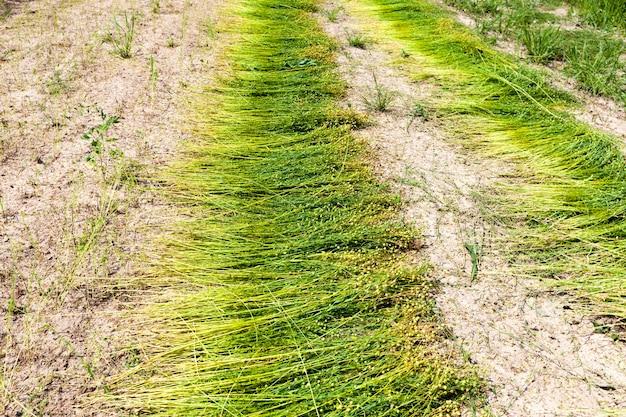 リネン生地の生産のために亜麻が栽培されている農地である、収穫の準備ができている緑の亜麻