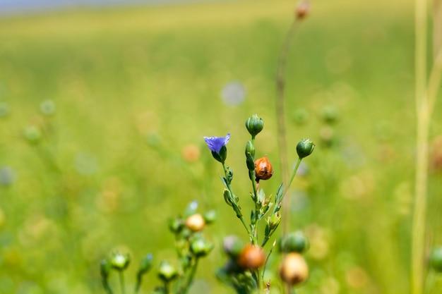 Зеленый лен готов к уборке, сельскохозяйственное поле, где выращивают лен для производства льняных тканей.
