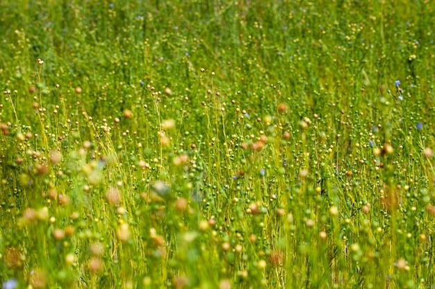 Зеленый лен готов к уборке
