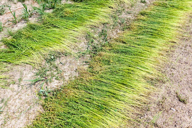 Green flax ready for harvesting, an agricultural field where flax is grown for the production of linen fabrics
