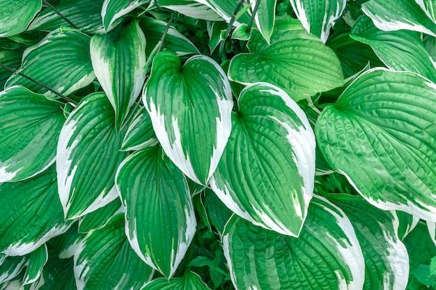 Green floral hosta leaves closeup