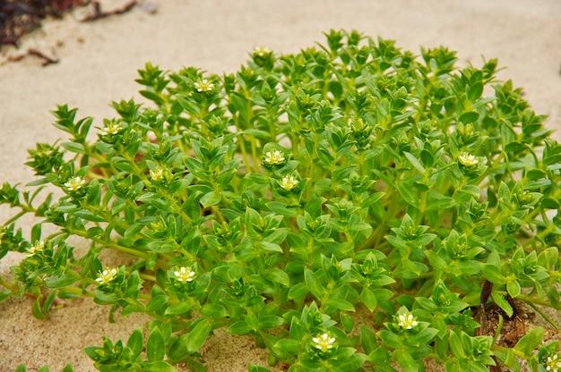 緑の花ユーフォルビア、非常に大きく多様な顕花植物の属