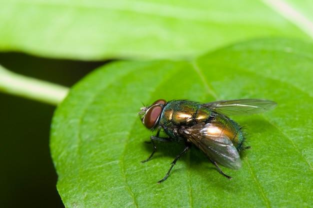 Green fly macro