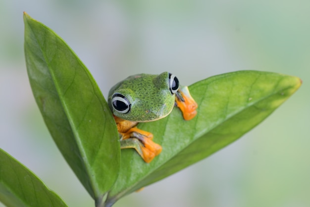 The green flying frog on a leaf