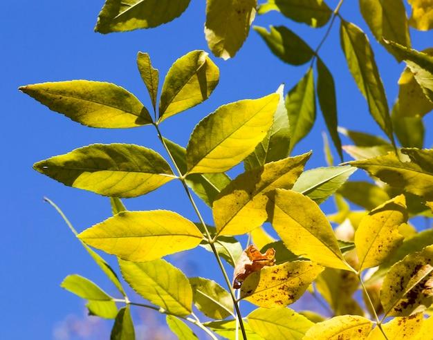 Зеленая листва, среди которой появляются первые осенние листья оранжевого цвета, крупный план настоящего живого дерева в осенний сезон.