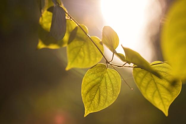 緑の葉は、テキスト用のコピースペースがある公園の日の出に対して残します。春の自然な背景。マクロのクローズアップ