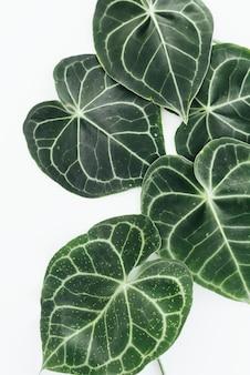 Зеленая листва на белом фоне