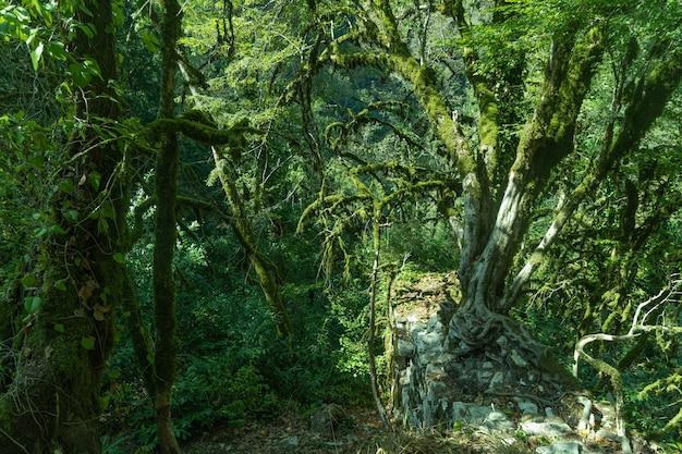 녹색 숲 배경, 열 대 나무입니다. 유-회양목 숲, 소치 국립 공원