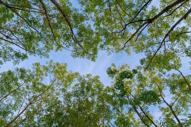 Green forest, hevea brasiliensis trees top leaf in sky background taken from below.
