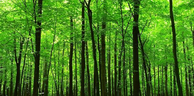 Зеленый лес летом