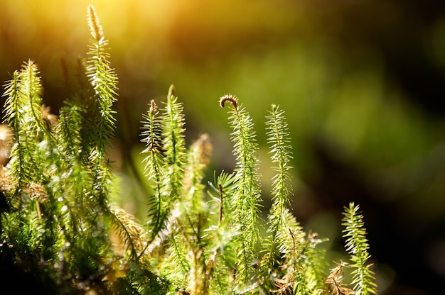 Green forest moss in a sunny day