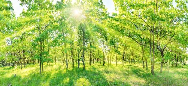 緑の森のパノラマ-木々の間から差し込む太陽光線のパノラマ風景