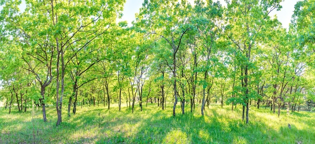 緑の森のパノラマ-木々の間から太陽の光が差し込むパノラマ風景