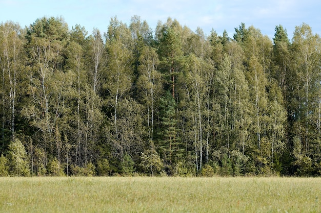 Green forest with grass on meadow. summer wood landscape, pasture cattle.