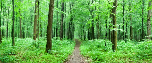 Green forest with a path