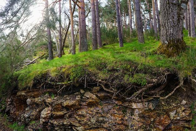 背の高い木々と土があり、根が空中にあり、太陽が木々の間を照らしている緑の森