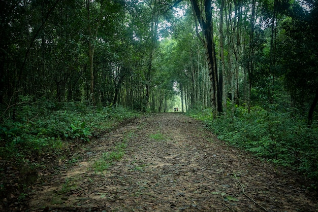 Green forest woodland nature and walkway lane path forest trees background - dark forest