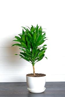 緑の香りのよいドラセナ植物分離家の植物、家の装飾の概念