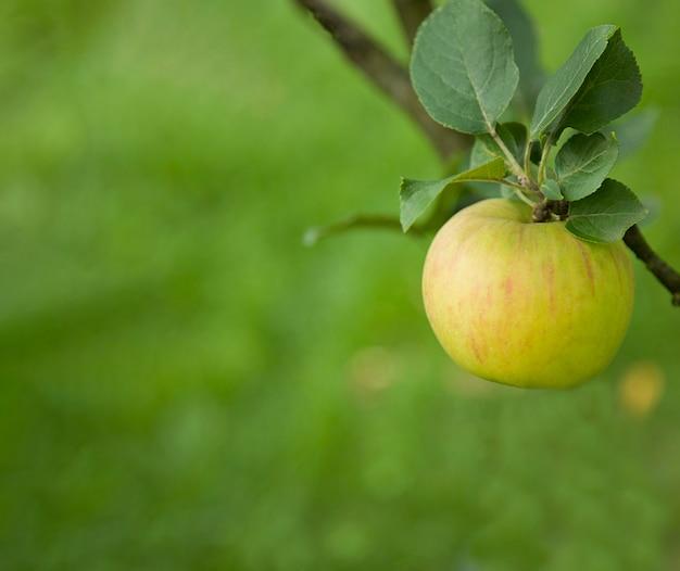 분기에 녹색 신선한 사과 유기농 자연 식품 지속 가능한 농업 배경