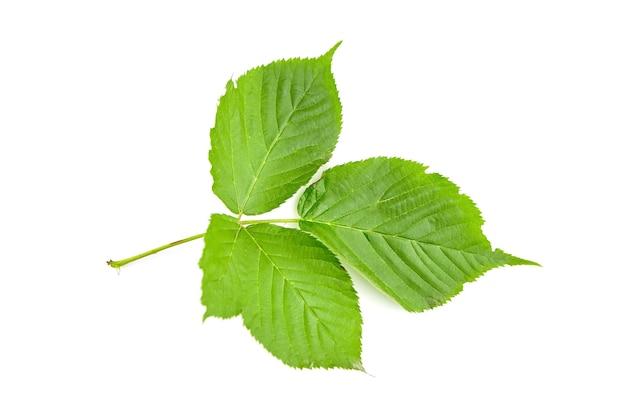 緑の新鮮なブラックベリーの葉は、白い背景で隔離。ブラックベリーベリーの葉。