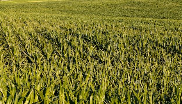농업 식품 분야의 녹색 신선한 옥수수, 옥수수는 사람들에게 먹이를 주거나 축산, 근접 촬영에서 가축에게 먹이를주는 데 사용됩니다.