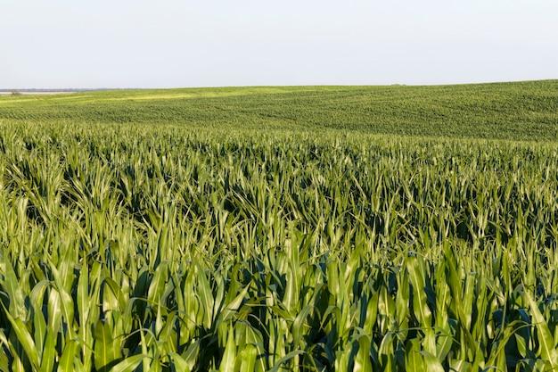농업 식품을 위한 들판의 녹색 신선한 옥수수, 옥수수는 가축 사육에서 사람에게 먹이를 주거나 가축을 먹이는 데 사용됩니다
