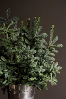 Green fresh fir or abies nobilis branches in an iron bucket on a dark backdrop, christmas or new year concept
