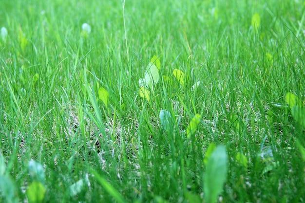 Green fresh grass closeup