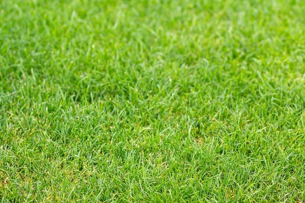 Green fresh grass texture for  green bright sunny lawn, garden