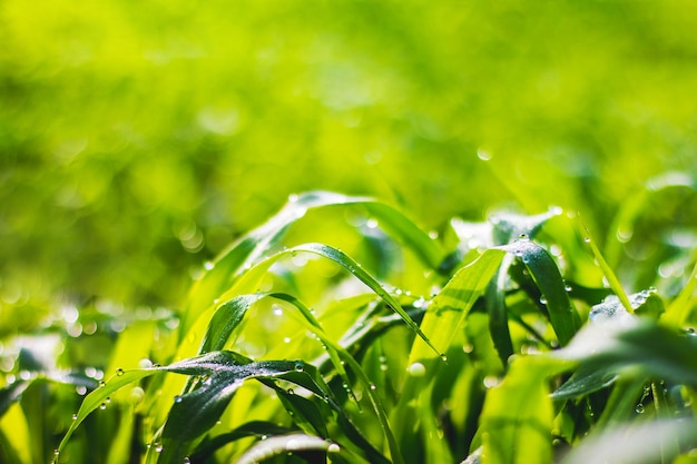 Green fresh grass with drops of dew on blurred background