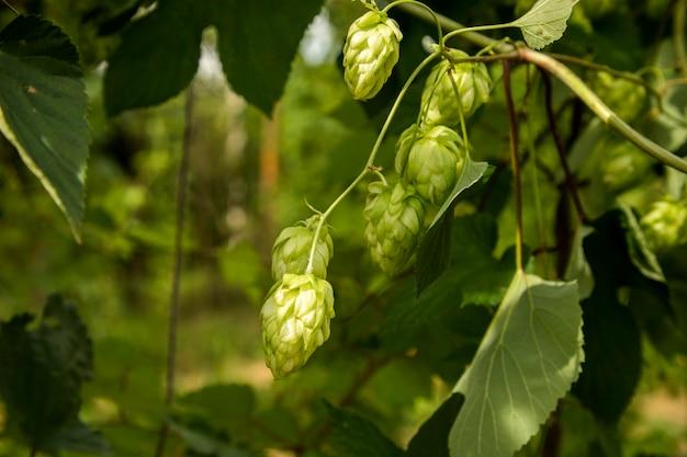 맥주와 빵 근접 촬영, 농업 배경 만들기위한 녹색 신선한 홉 콘.