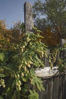 Зеленые свежие шишки хмеля для приготовления пива и хлеба.