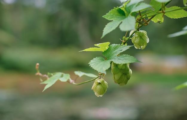 水滴の緑の新鮮なホップコーン、コーンに選択的に焦点を当てます。ビールとパンを作るためのホップ、コピースペースのある農業の背景。収穫前のホップコーンの詳細