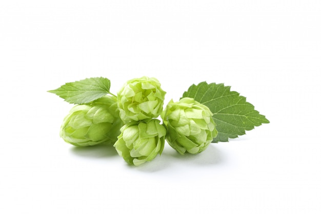 Green fresh hop cones isolated on white