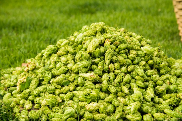 Green fresh hop cones for making beer and bread close up