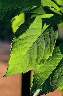 明るい日光の下で輝く緑の新鮮な葉、クローズアップ、選択的な焦点。自然な背景