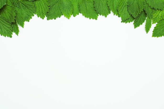 Green fresh lemon balm leaves at the top of white background